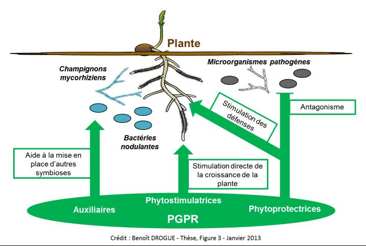 Principaux modes d'action des PGPR